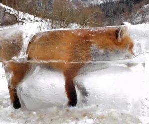 """一只狐狸掉进河里 结果冻成了""""冰雕"""""""