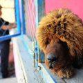 英媒称藏獒在中国失宠:近千只遗弃狗被政府收容