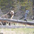 德国动物园明星灰北极熊出逃 动物园将其射杀