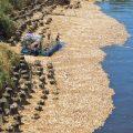 台北持续高温创百年纪录 死鱼漂在河面