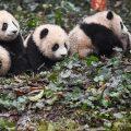 美媒:中国大熊猫栖息地萎缩 面积比1988年还小