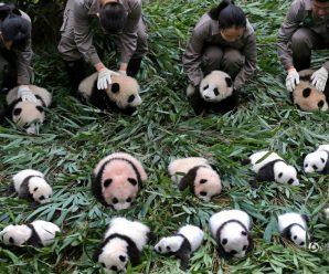 2017新生大熊猫宝宝集体出街 抱大腿不撒手