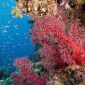 红珊瑚面临灭绝危机:中国人喜收藏 日本人增捕捞
