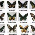 全国最大濒危蝴蝶走私案宣判 3人贩千枚翅膀获刑10年