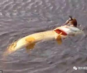 大鱼在水中捕食水鸟 试图一口吞下