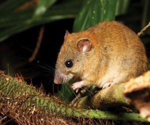 澳大利亚珊瑚裸尾鼠灭绝 系首个因气候变化灭绝的哺乳动物