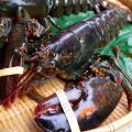 美媒:对华出口大跌 美国龙虾商上火