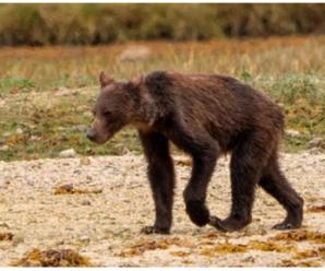 加拿大鲑鱼数量减少 灰熊饿得只剩皮包骨