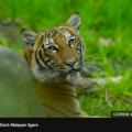 美国一只4岁雌虎新冠病毒检测呈阳性 动物园证实